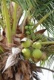 Φρούτα καρύδων στο δέντρο καρύδων στον κήπο Ταϊλάνδη Στοκ Φωτογραφίες