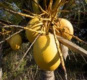 Φρούτα καρύδων Στοκ Φωτογραφία