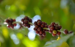 Φρούτα καφέ φασολιών καφέ Στοκ Φωτογραφίες