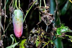 Φρούτα κολοκυθών Lvy Στοκ Εικόνα