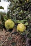 Φρούτα κυδωνιών Στοκ Εικόνα