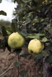 Φρούτα κυδωνιών Στοκ Εικόνες