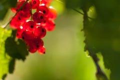 Φρούτα κόκκινων σταφίδων στο θάμνο Στοκ Εικόνα