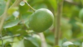 Φρούτα λεμονιών στο δέντρο στον οπωρώνα απόθεμα βίντεο