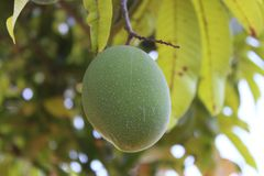 Φρούτα μάγκο στο δέντρο στοκ εικόνα με δικαίωμα ελεύθερης χρήσης