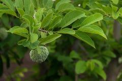 Φρούτα μήλων κρέμας σε έναν κλάδο στοκ εικόνες με δικαίωμα ελεύθερης χρήσης