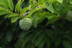 Φρούτα μήλων κρέμας σε έναν κλάδο στοκ εικόνες