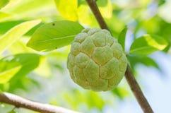 Φρούτα μήλων κρέμας Στοκ Εικόνα