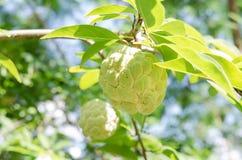 Φρούτα μήλων κρέμας Στοκ φωτογραφία με δικαίωμα ελεύθερης χρήσης