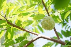 Φρούτα μήλων κρέμας Στοκ Εικόνες
