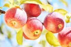 Φρούτα μήλων στον οπωρώνα Στοκ φωτογραφία με δικαίωμα ελεύθερης χρήσης