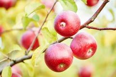 Φρούτα μήλων στον οπωρώνα Στοκ Εικόνες