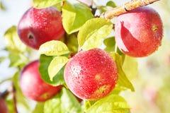 Φρούτα μήλων στον οπωρώνα Στοκ Φωτογραφία