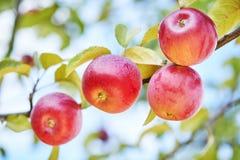 Φρούτα μήλων στον οπωρώνα Στοκ εικόνες με δικαίωμα ελεύθερης χρήσης