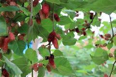 Φρούτα μουριών Στοκ φωτογραφίες με δικαίωμα ελεύθερης χρήσης
