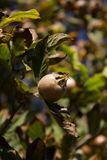 Φρούτα μουσμουλιών (germanica Mespilus) Στοκ φωτογραφίες με δικαίωμα ελεύθερης χρήσης