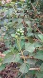 Φρούτα μούρων Στοκ Εικόνα