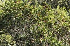 Φρούτα μούρων Arbutus Στοκ εικόνες με δικαίωμα ελεύθερης χρήσης