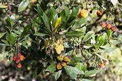 Φρούτα μούρων Arbutus Στοκ Φωτογραφίες