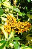 Φρούτα νάνου Schefflera, Arboricola Στοκ φωτογραφίες με δικαίωμα ελεύθερης χρήσης