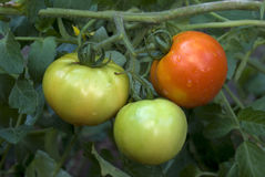 Φρούτα ντοματών ωριμάζω-τρία αριθ. στις εγκαταστάσεις στοκ φωτογραφία