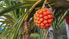 Φρούτα πεύκων βιδών Στοκ Φωτογραφία