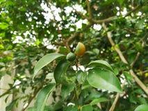 Φρούτα πορτοκαλί jasmine Στοκ φωτογραφίες με δικαίωμα ελεύθερης χρήσης