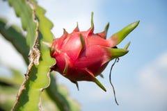 Φρούτα δράκων στο Βιετνάμ Στοκ εικόνα με δικαίωμα ελεύθερης χρήσης