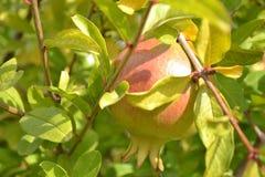 Φρούτα ροδιών που φωτίζονται λαμπρά από την ηλιοφάνεια στη μέση των φύλλων και των κλάδων στοκ φωτογραφία με δικαίωμα ελεύθερης χρήσης