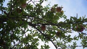 Φρούτα ροδιών στο δέντρο που κινείται με τον αέρα Κατώτατη όψη 4K φιλμ μικρού μήκους