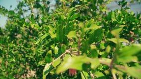 Φρούτα ροδιών στο δέντρο που κινείται στον αέρα απόθεμα βίντεο