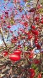 Φρούτα ροδαλών ισχίων Στοκ Εικόνες