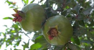 Φρούτα ροδιών στον κλάδο δέντρων απόθεμα βίντεο