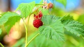 Φρούτα σμέουρων σε έναν πράσινο μίσχο απόθεμα βίντεο