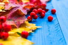 Φρούτα σορβιών φύλλων χρώματος υποβάθρου πτώσης στους μπλε πίνακες Στοκ εικόνα με δικαίωμα ελεύθερης χρήσης