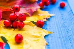 Φρούτα σορβιών φύλλων χρώματος υποβάθρου πτώσης στους μπλε πίνακες Στοκ φωτογραφία με δικαίωμα ελεύθερης χρήσης