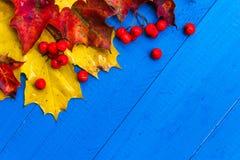 Φρούτα σορβιών φύλλων χρώματος υποβάθρου πτώσης στους μπλε πίνακες Στοκ Εικόνες