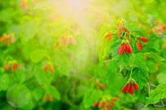 Φρούτα, σφένδαμνος σπόρων Στοκ Φωτογραφία