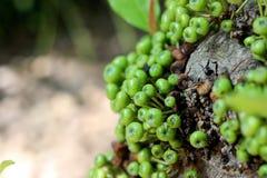 Φρούτα σύκων Στοκ φωτογραφίες με δικαίωμα ελεύθερης χρήσης