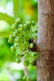 Φρούτα σύκων Στοκ Φωτογραφίες