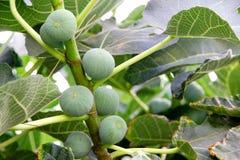 Φρούτα σύκων Στοκ Εικόνα