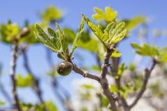 Φρούτα σύκων Στοκ Εικόνες