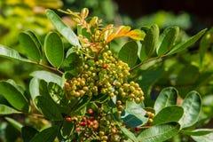 Φρούτα της Ταϊλάνδης puncticulatum Antidesma Στοκ Εικόνες