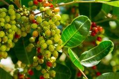 Φρούτα της Ταϊλάνδης puncticulatum Antidesma Στοκ εικόνες με δικαίωμα ελεύθερης χρήσης