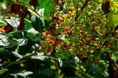 Φρούτα της Ταϊλάνδης puncticulatum Antidesma Στοκ Εικόνα