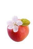 Φρούτα της Apple και άσπρο άνθος Στοκ φωτογραφία με δικαίωμα ελεύθερης χρήσης