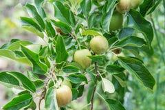 Φρούτα της Apple που αυξάνονται σε έναν κλάδο δέντρων μηλιάς στον οπωρώνα Στοκ Εικόνες