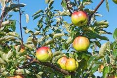 Φρούτα της Apple που κρεμούν στους κλάδους Στοκ Εικόνα