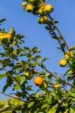 Φρούτα της Apple σε ένα δέντρο Στοκ Φωτογραφία