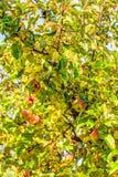 Φρούτα της Apple σε ένα δέντρο Στοκ φωτογραφίες με δικαίωμα ελεύθερης χρήσης